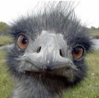 Продажа страусов в Украине